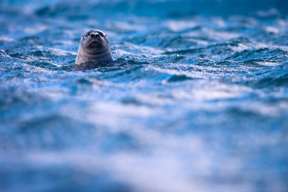 Seehund in der Gletscherlagune