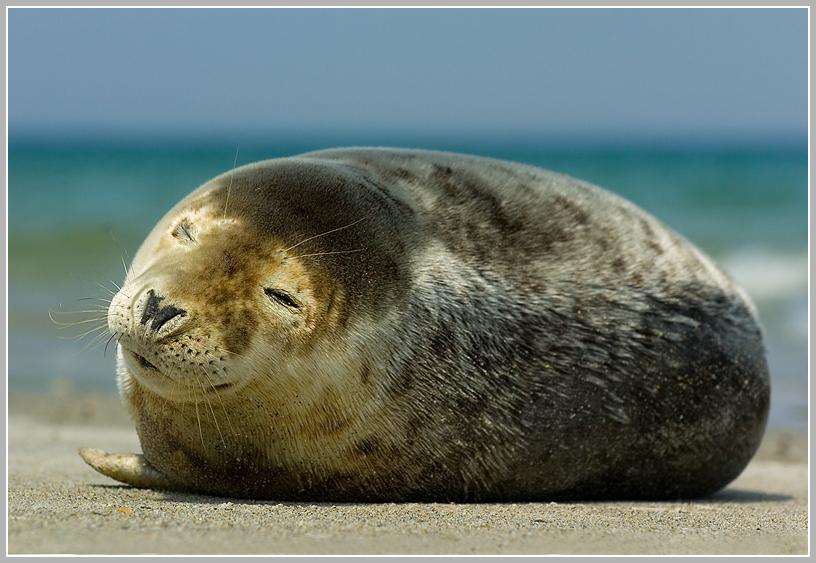 Seehund (Phoca vitulia), Helgoland, Düne