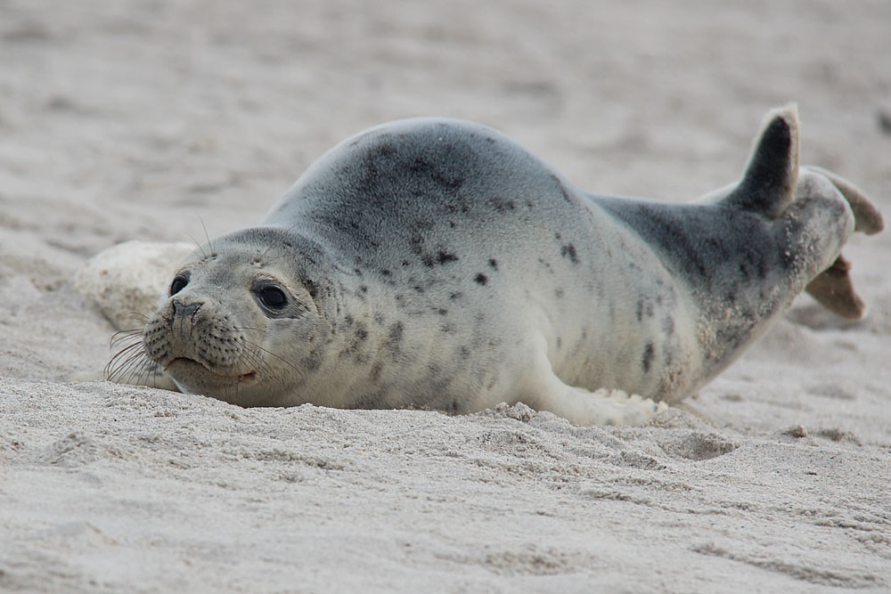 Seehund vor Helgoland