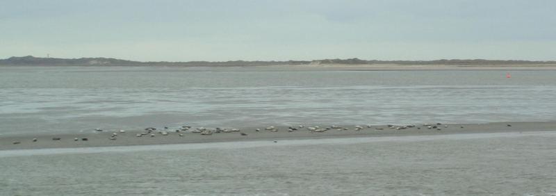 Seehunde auf einer Sandbank vor Juist
