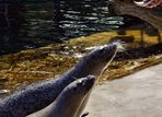 Seehunde bei der Fütterung..