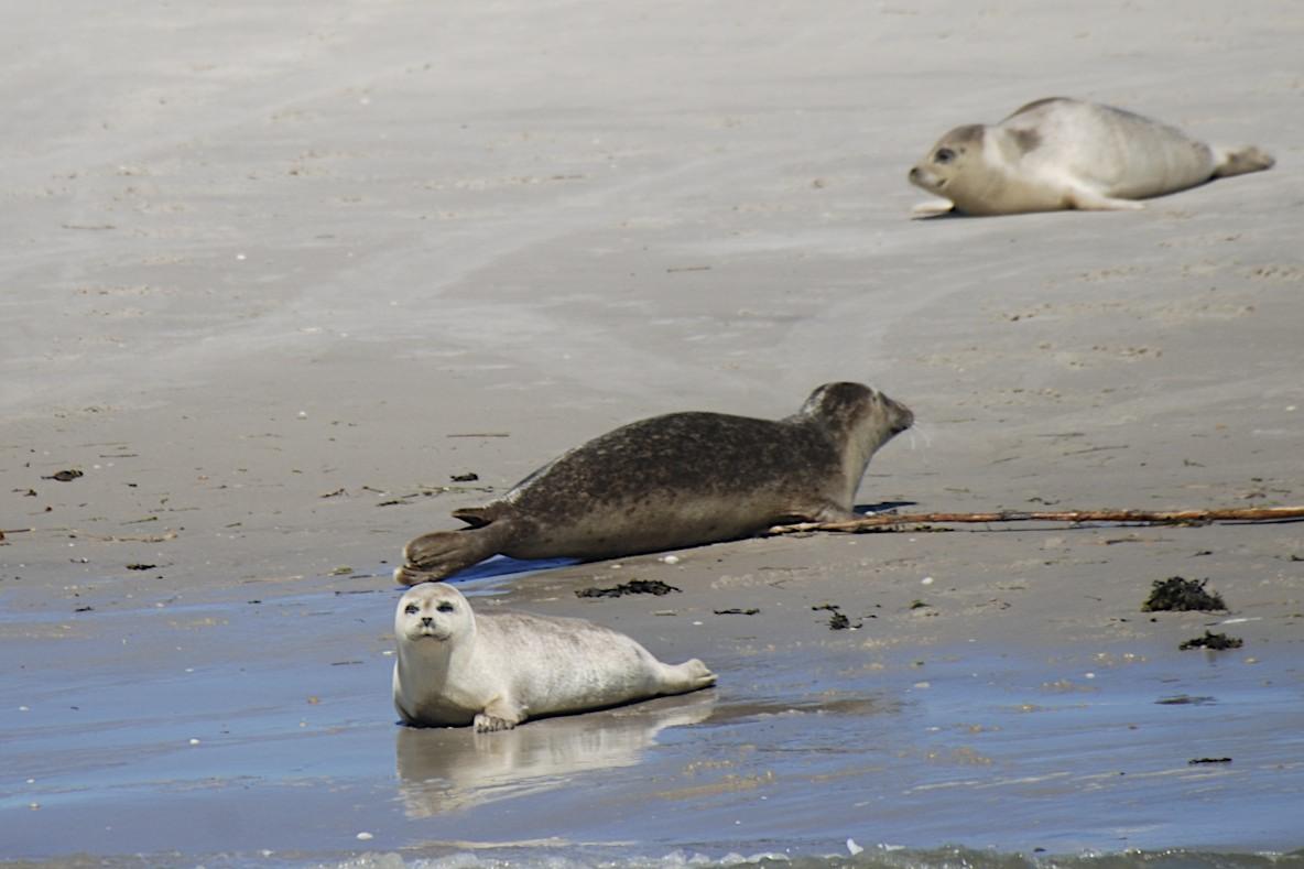 Seehunde - Sandbank Norderoogsand
