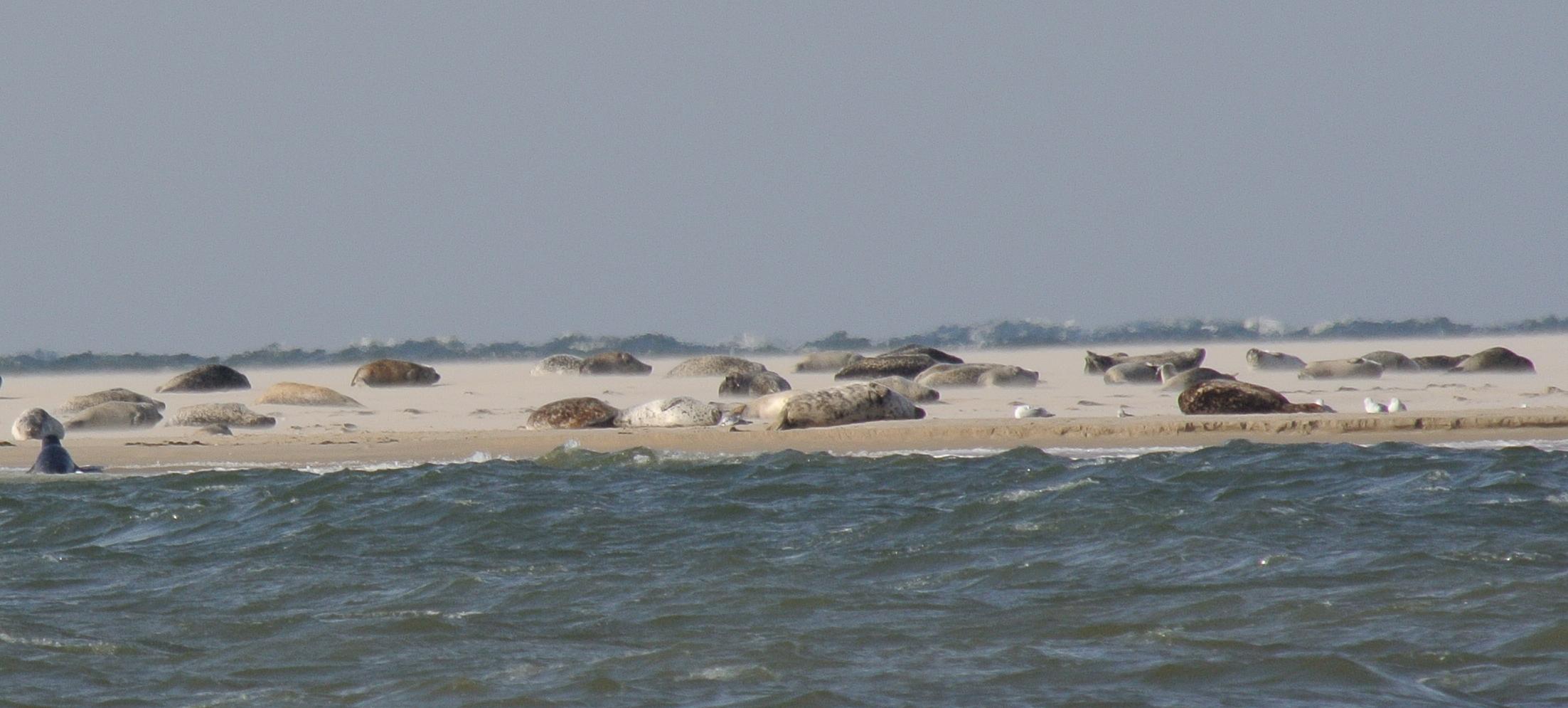 Seehundsbank auf Borkum-mit Seehunden und Kegelrobben-3.10.13