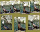 Seelöwe im Kölner Zoo jonliert mit einem Ball