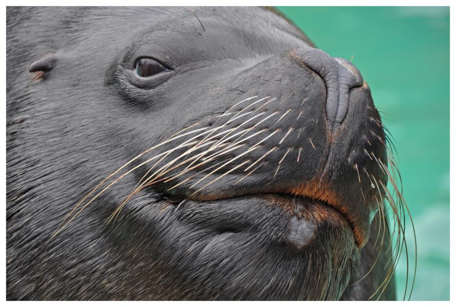 Seelöwe im Zoo HD