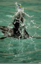 Seelöwe mit Schnuller