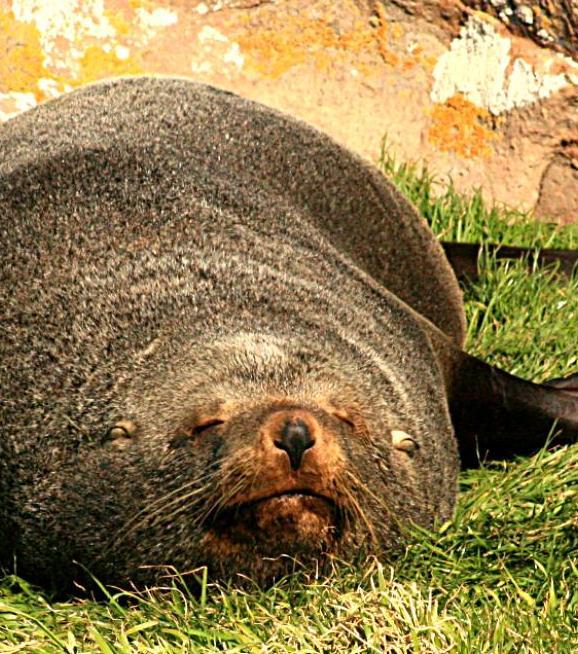 Seelöwe, reiche Tierwelt an Neuseelands Küsten