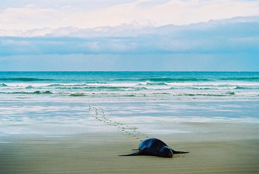 Seelöwe robbt den Strand hoch