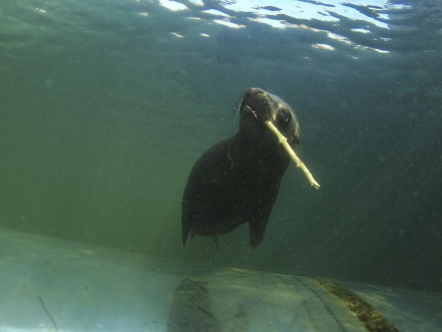 Seelöwe - Stöckchen