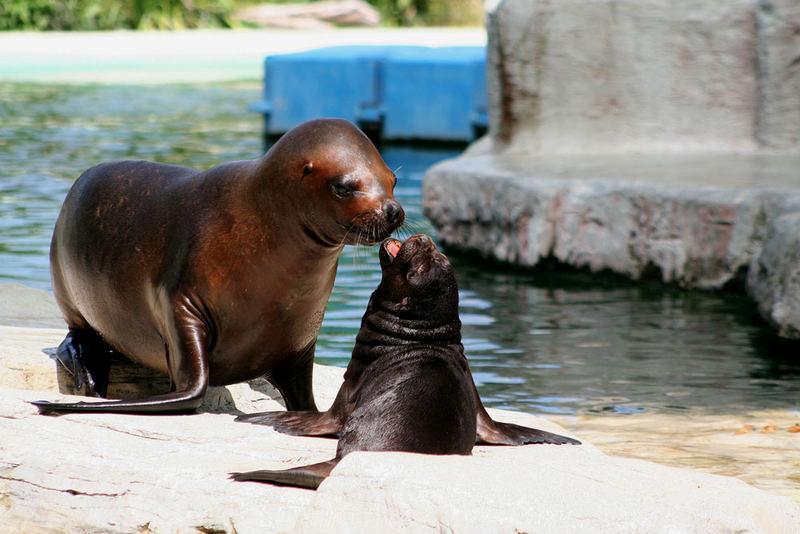 Seelöwen Baby mit Mutter