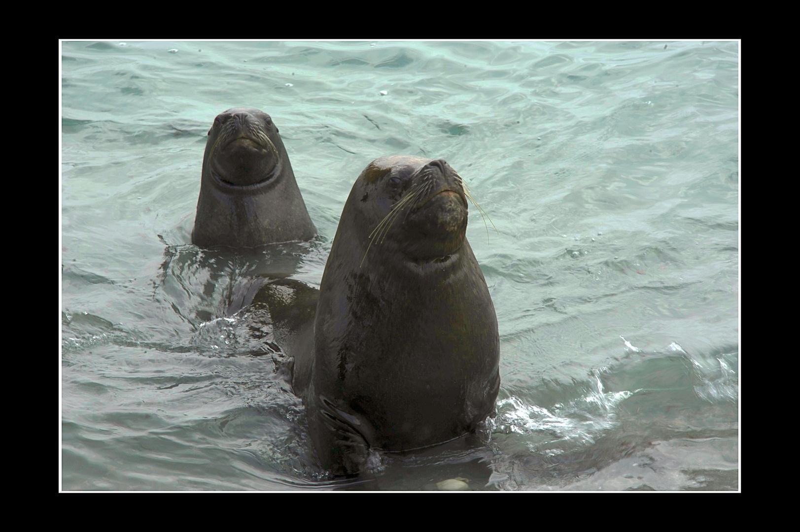 Seelöwen in Mejillones, Chile 5