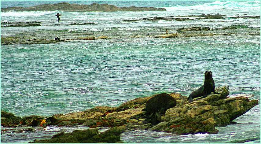 Seelöwen und Seevögel, reiche Tierwelt an Neuseelands Küsten