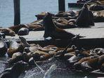 Seelöwenkolonie am Fisherman's Warf in San Francisco