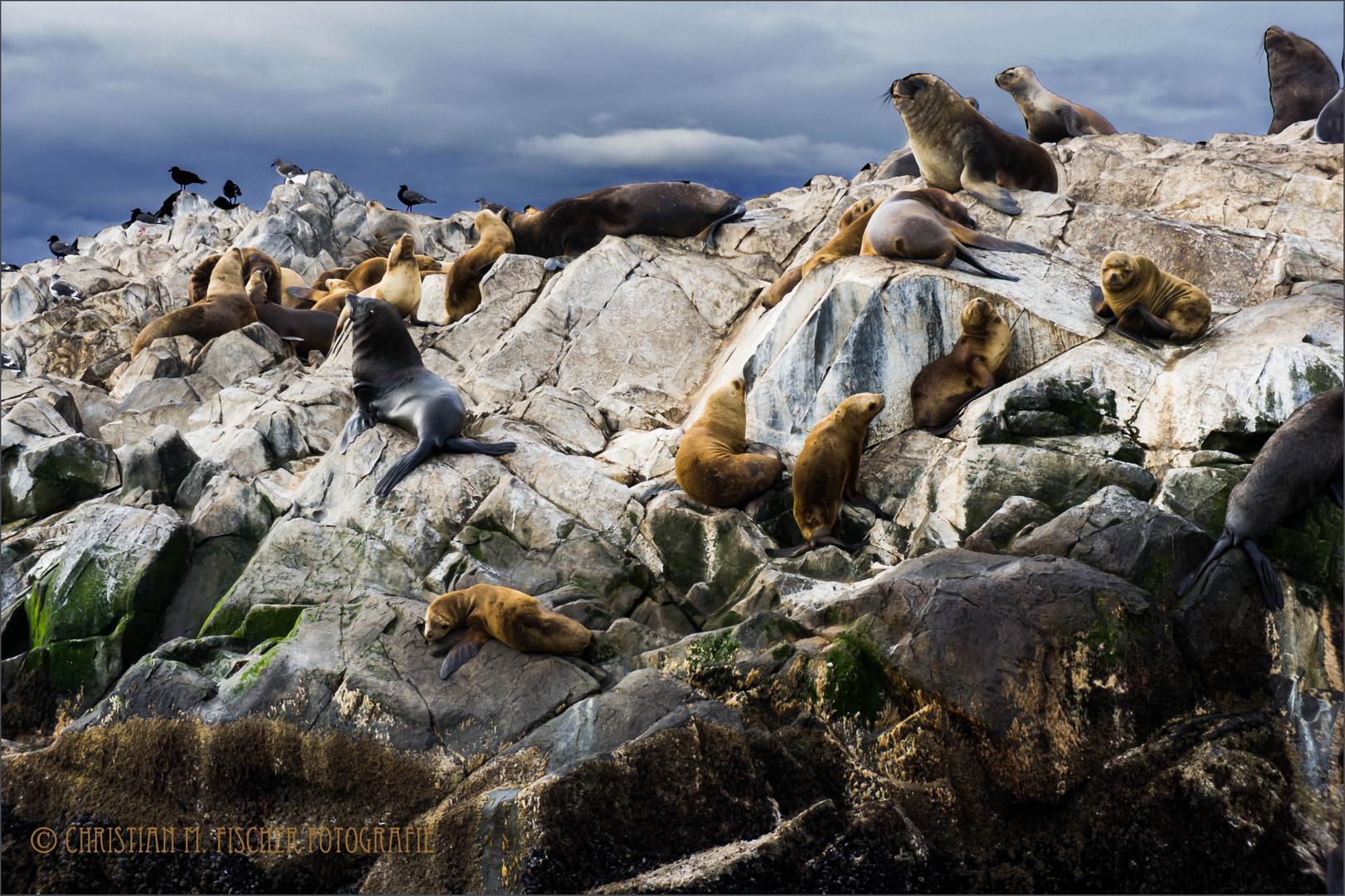 Seelöwenkolonie im Beagle-Kanal