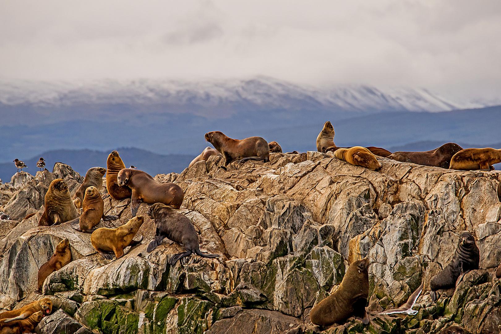 Seelöwenkolonie nahe Ushuaia