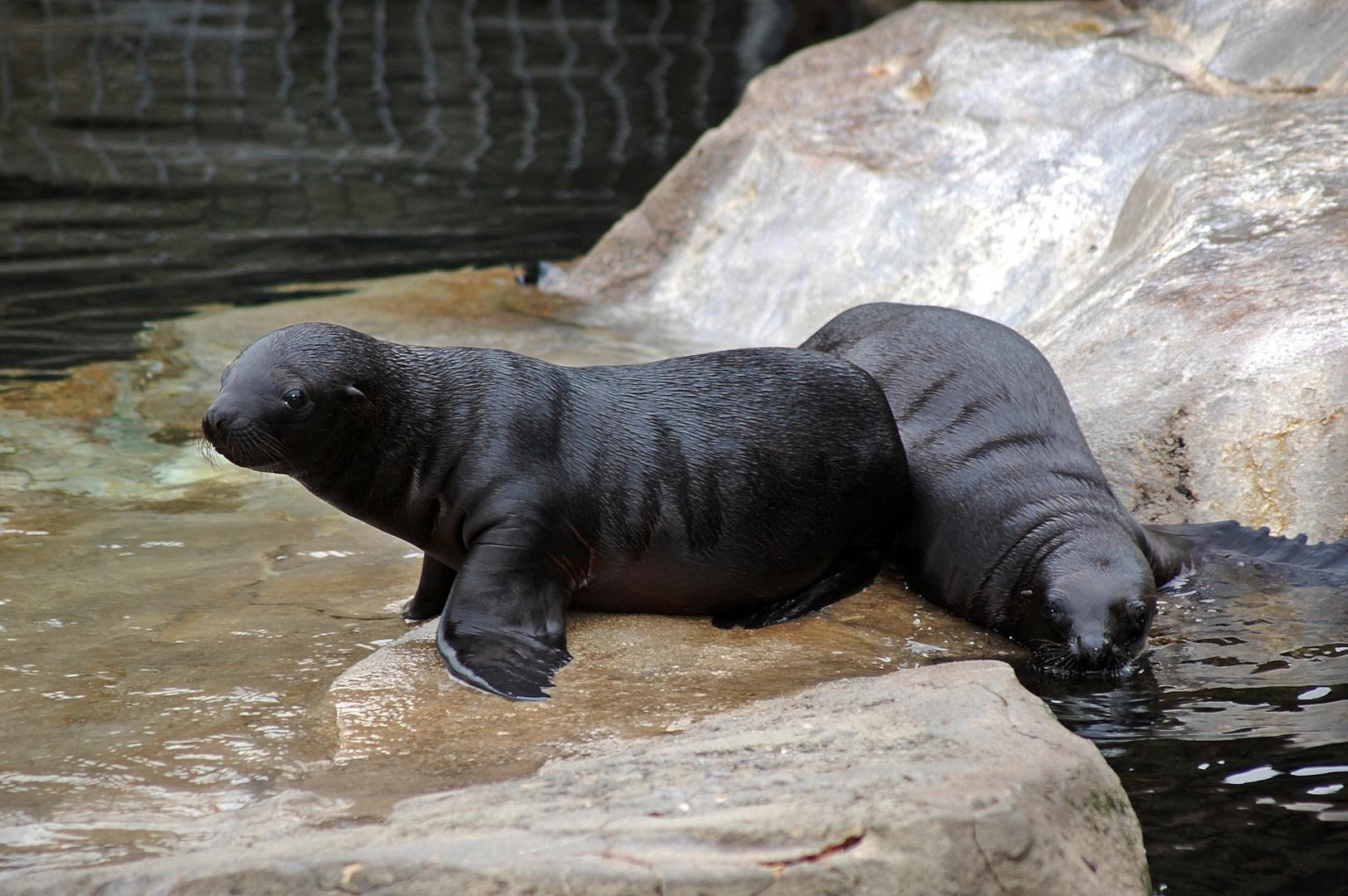 seelöwennachwuchs im zoo am meer