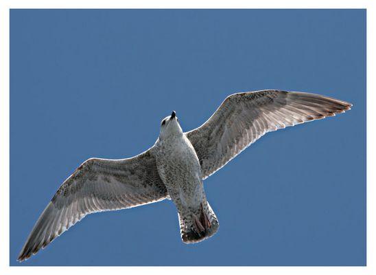 Seemöven auf Fehman / Seagulls at Fehman