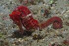Seepferd (hypocampus)