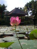 Seerose auf Bali