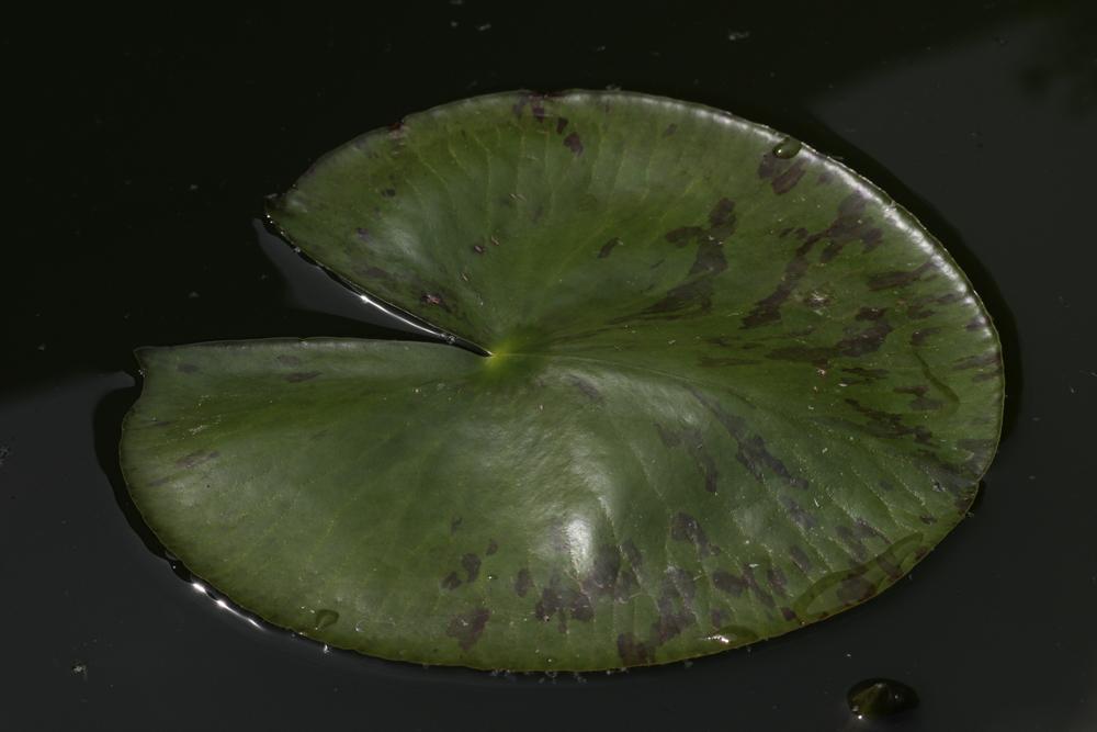 Seerose (Blatt)