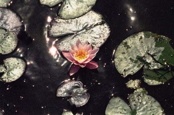Seerose im dunklen See