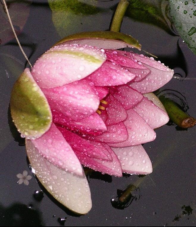 Seerose im Regen