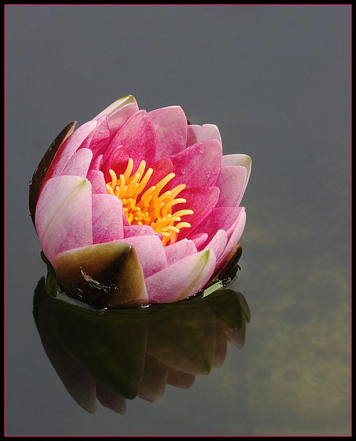 """Seerose im """"Wasserspiegel"""""""