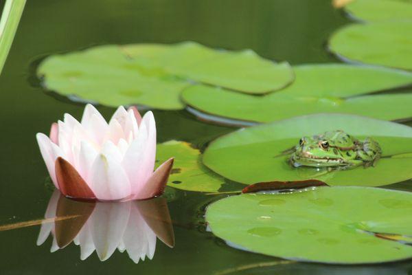 Seerose mit Frosch