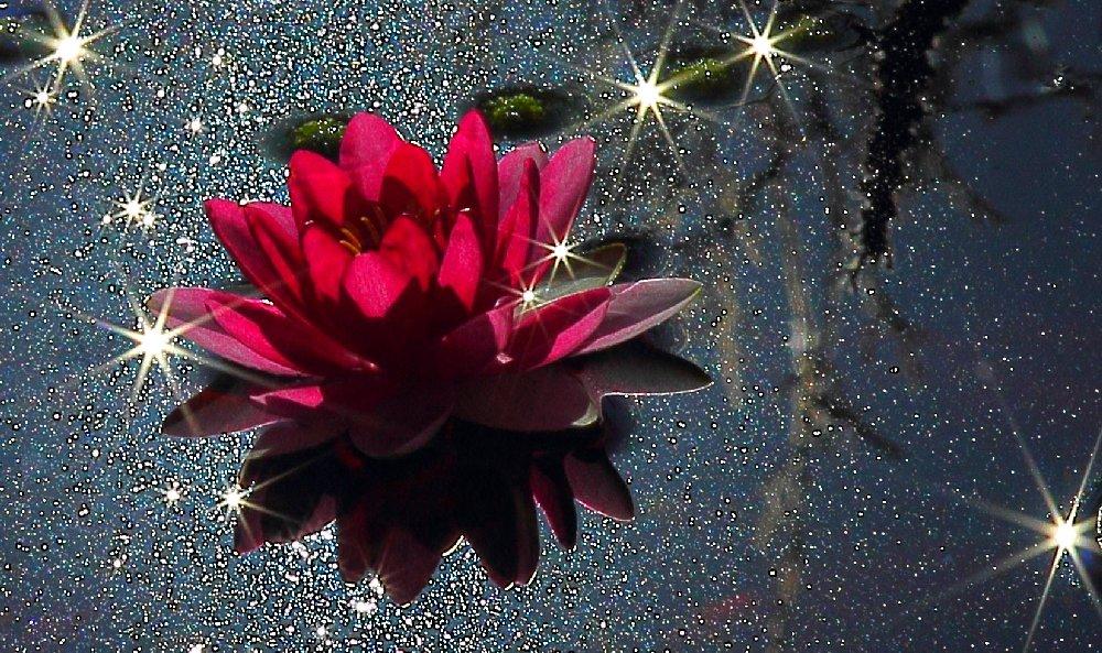 Seerose mit Sternchen