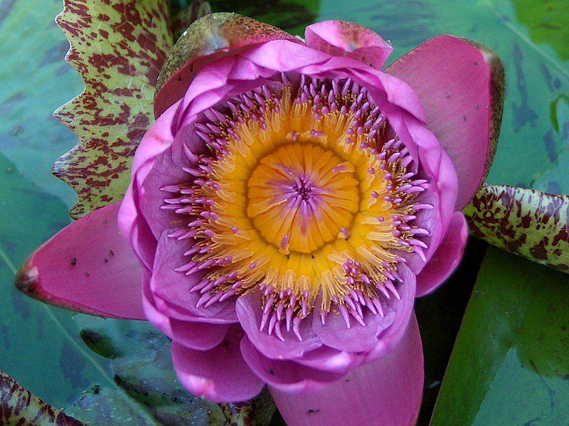 Seerose - Nymphaea