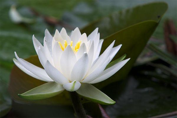 Seerose (Nymphaea Candidissima)
