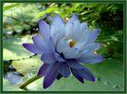Seerose (Nymphaea giganta)