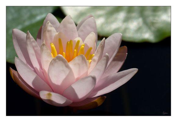 Seeroseblüte aus Samt und Seide