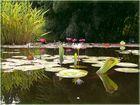 Seerosen im Botanischen Garten in Freiburg