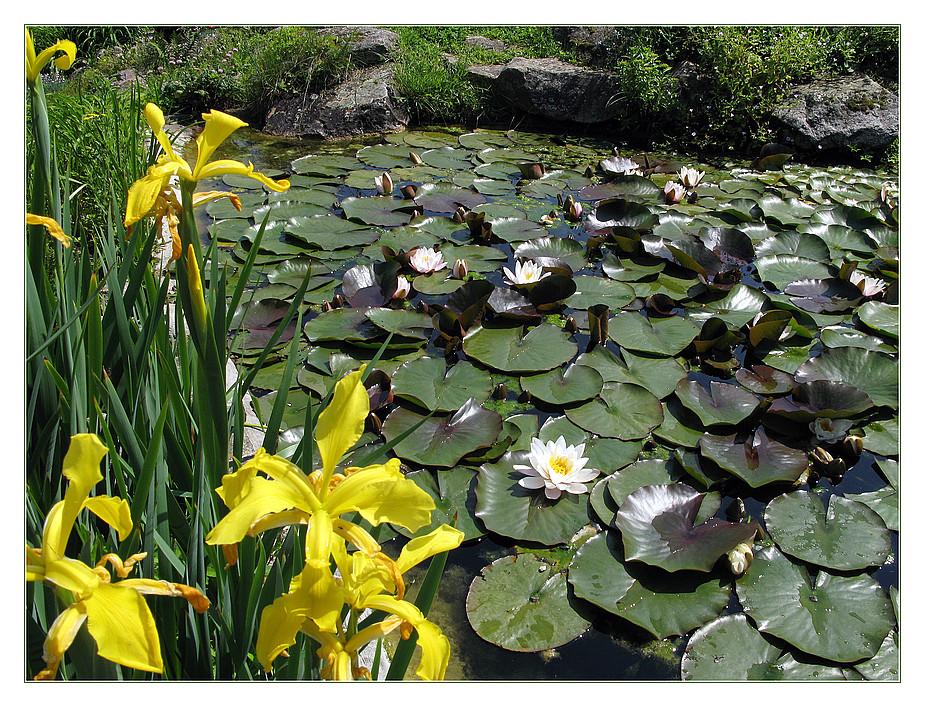 Seerosen und gelbe Iris