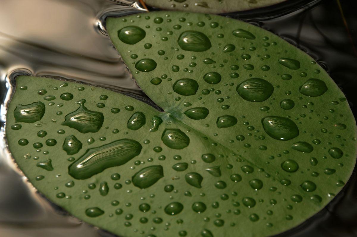 Seerosenblatt nach dem Regen