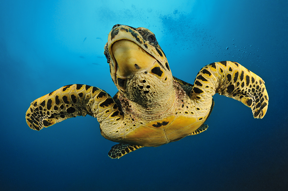 Seeschildkröte