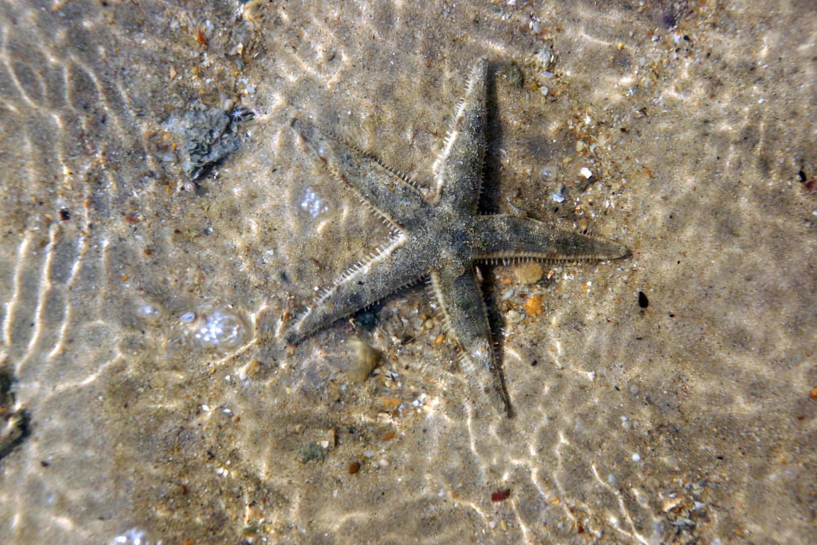 Seestern im Wasser