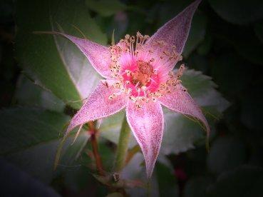"""""""Seesternblume"""""""