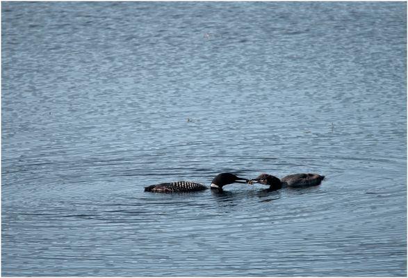 Seetaucher oder auch Loonie gerufen bei der Futterübergabe.