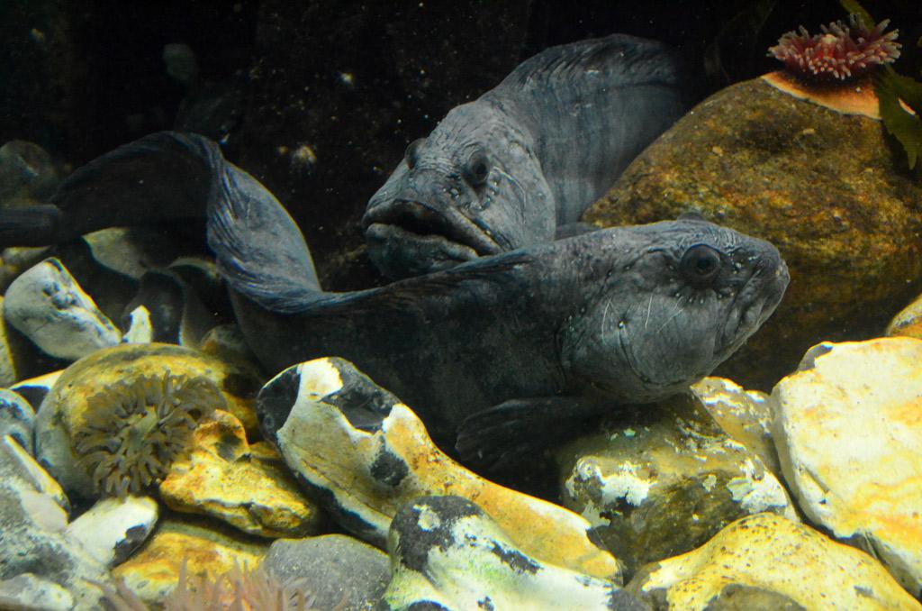 Seewölfe im Aquarium