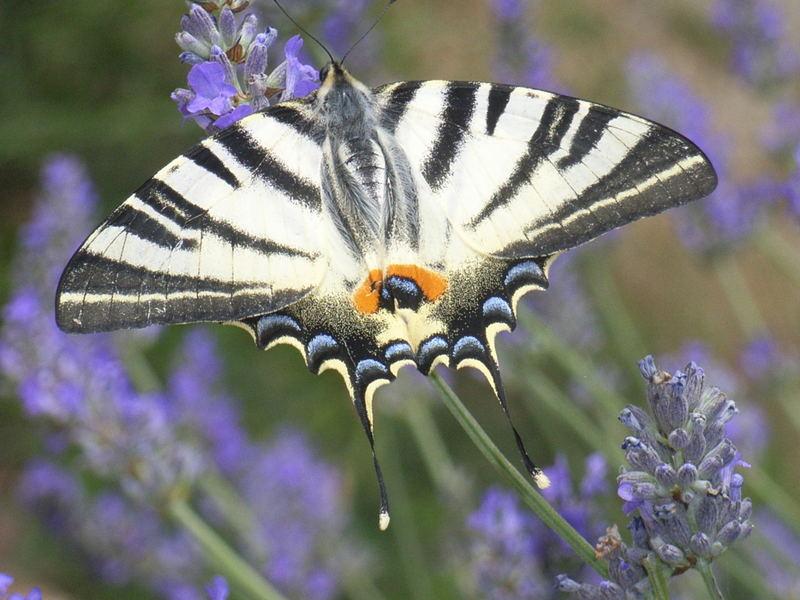 Segelfalter im Lavendel