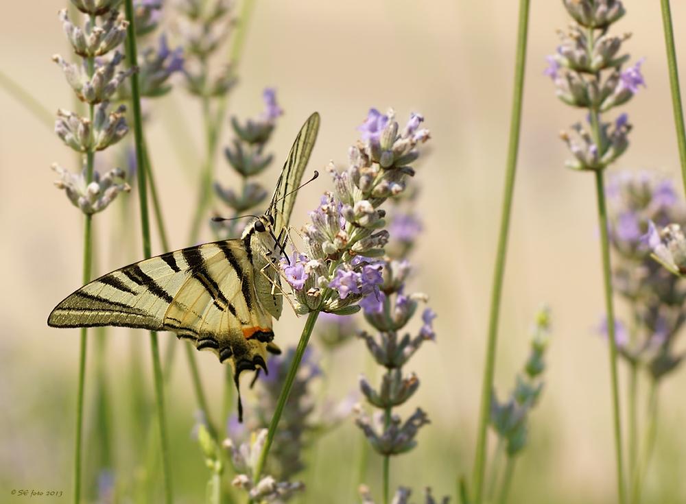Segelfalter im Lavendelfeld