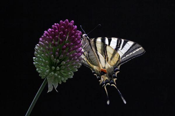 Segler am Allium