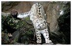 Sehen Sie nun zur Entspannung zwischendurch ein Schneeleopardenfoto