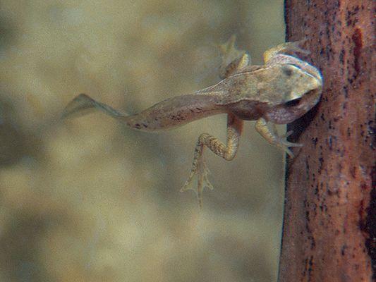 sehr junger Grasfrosch