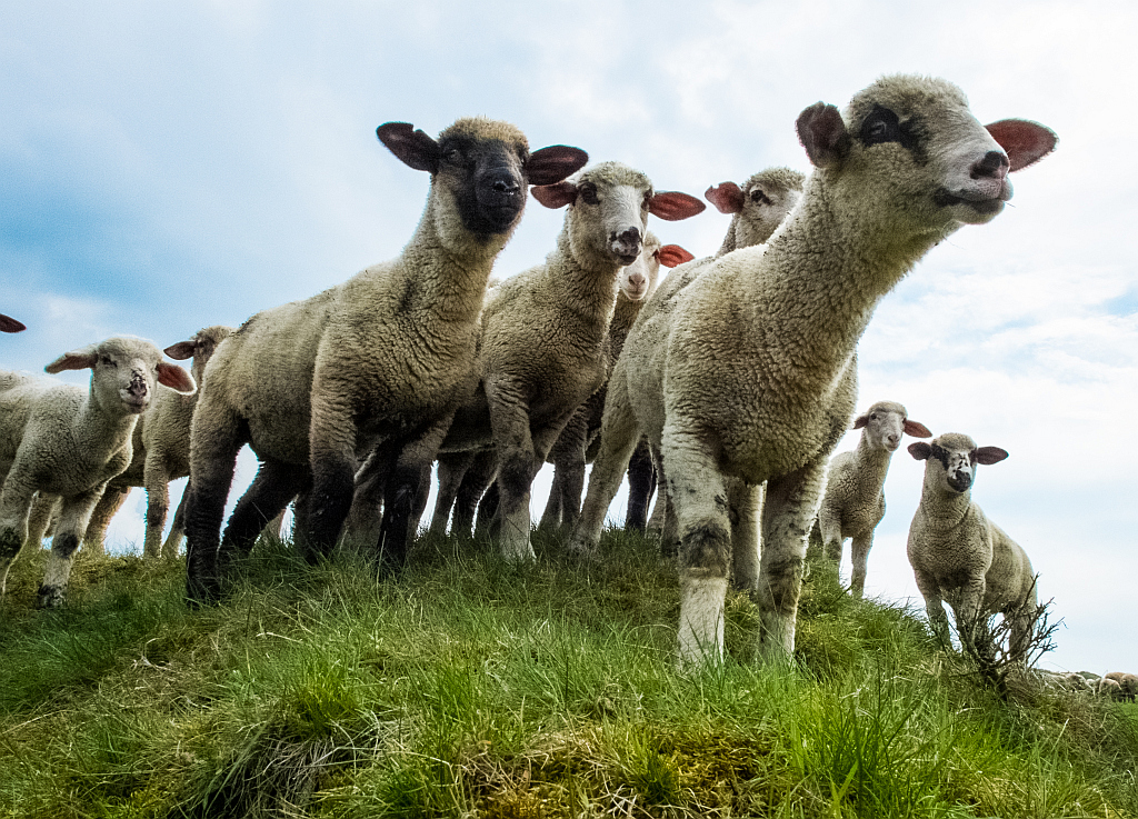 sehr neugierige Schafe