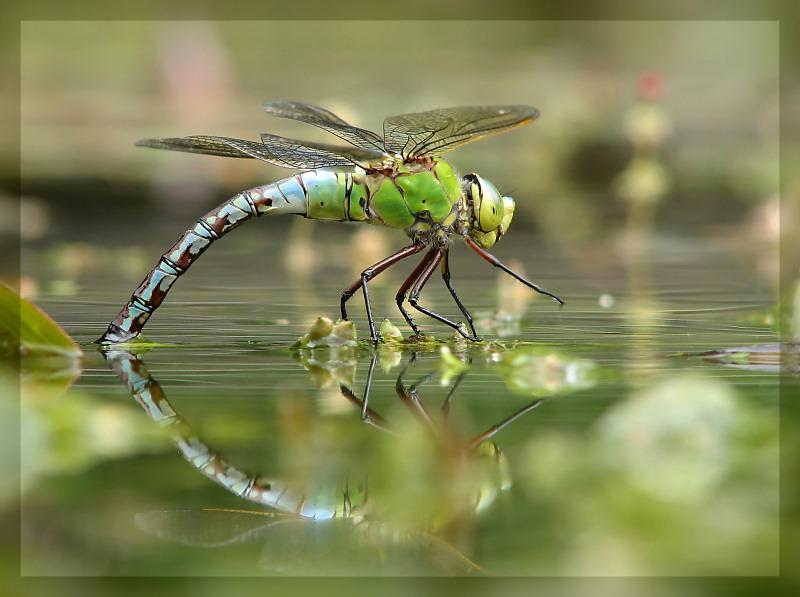 Sehr schön Libelle.