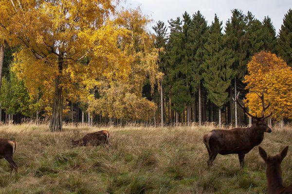 Sehr schönes Herbstbild mit Hirsch