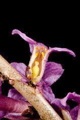 Seidelbast (Daphne mezereum)